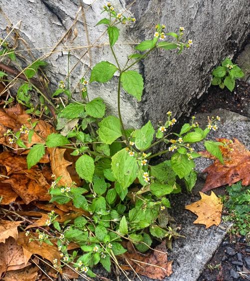 garden weed identification guide garden withoutdoors - 501×564
