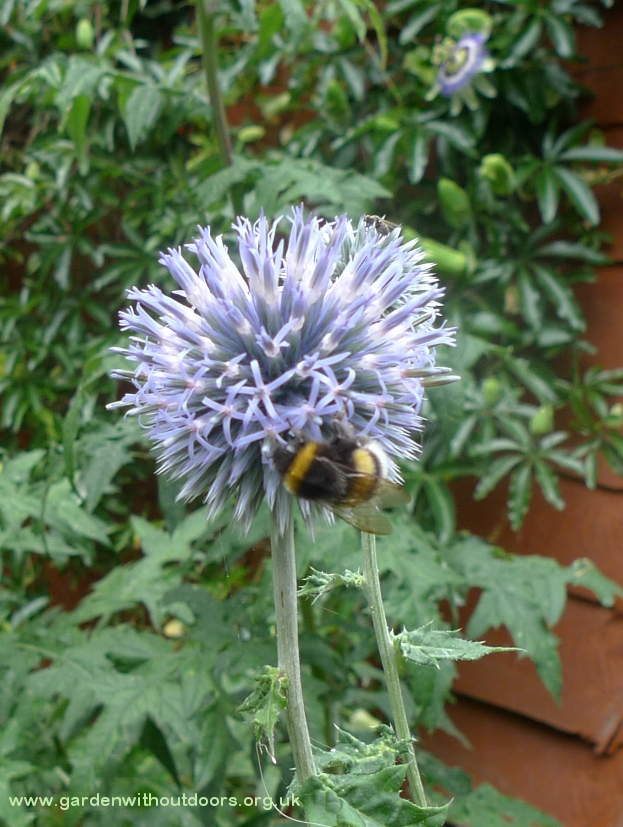 globe thistle with bumblebee