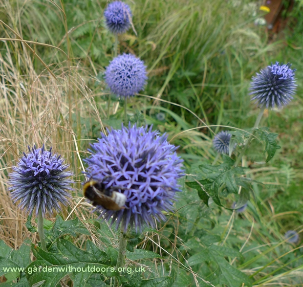 globe thistles with bees