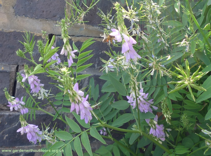 goat's-rue with bee