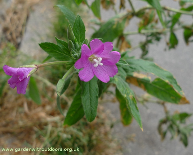 great hairy willowherb