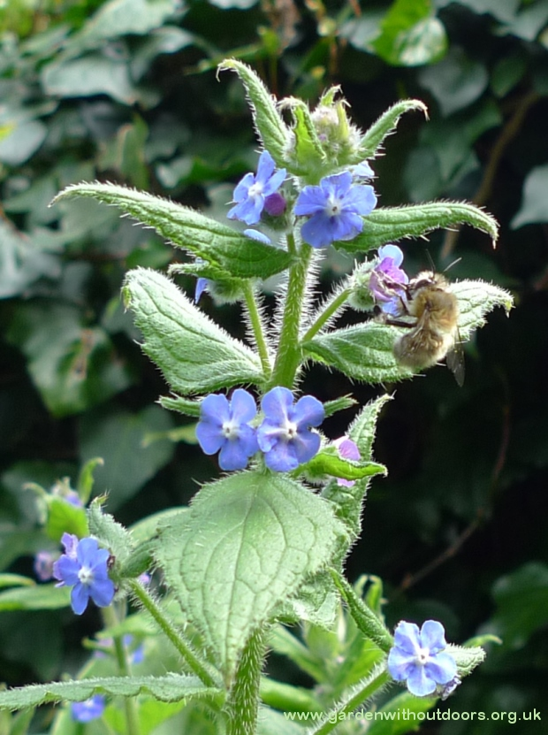 green alkanet with bee