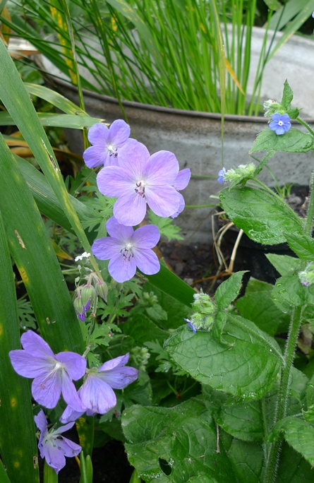 johnson's blue hardy gernanium
