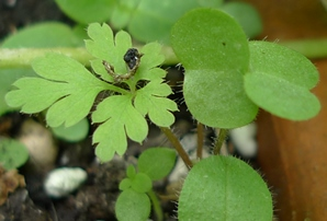 herb robert tiny seedling