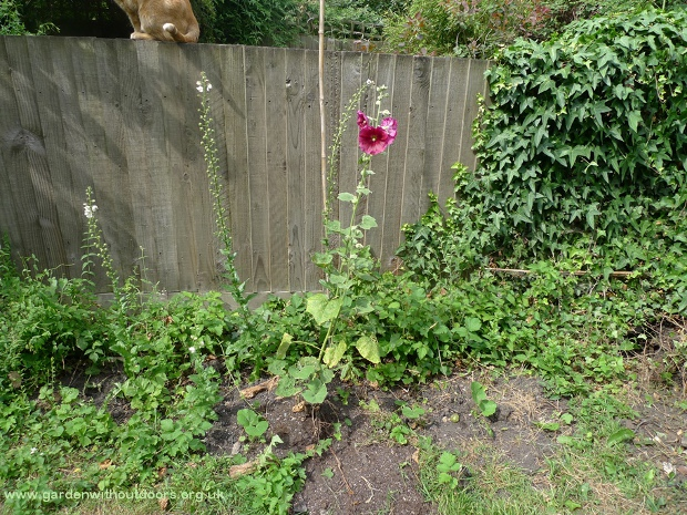cat on fence with verbascum and hollyhock