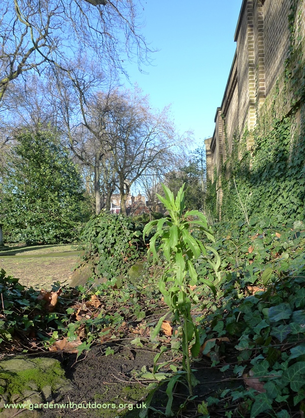 horseweed St Pancras Old Church