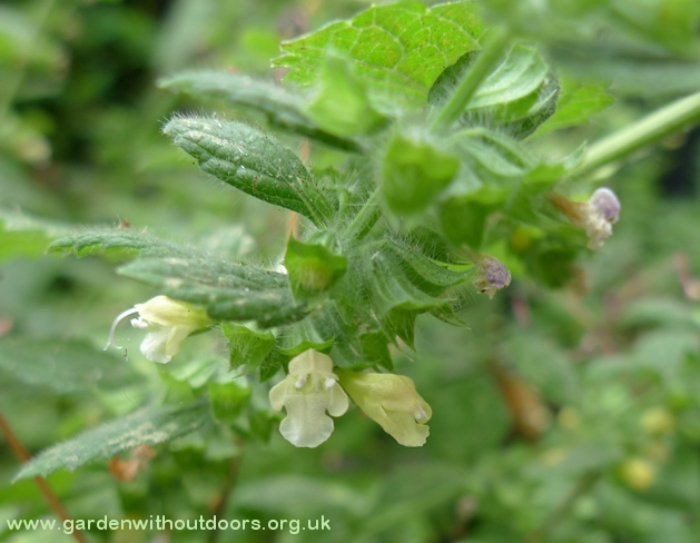 lemon balm flower