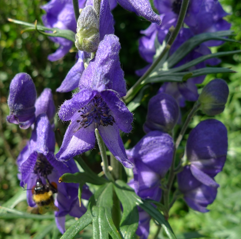 monkshood with bee