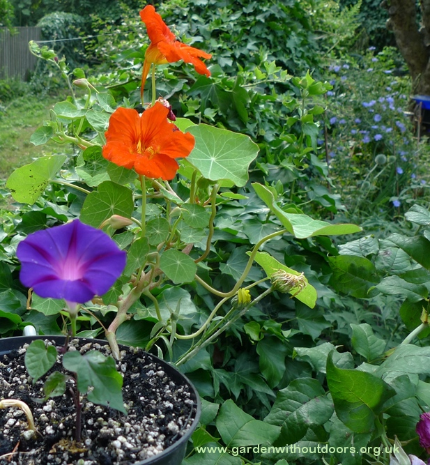 nasturtium morning glory chicory