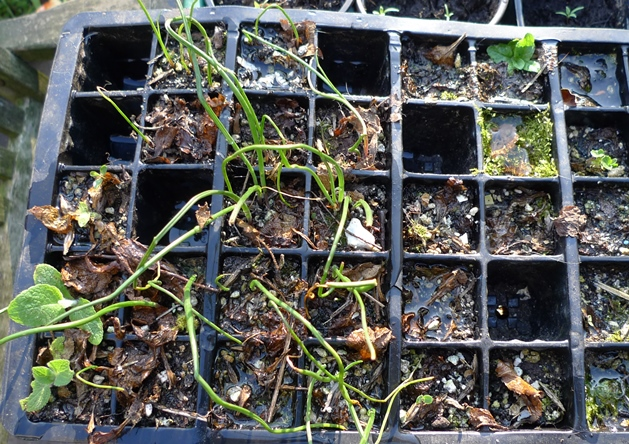 muscari seedlings