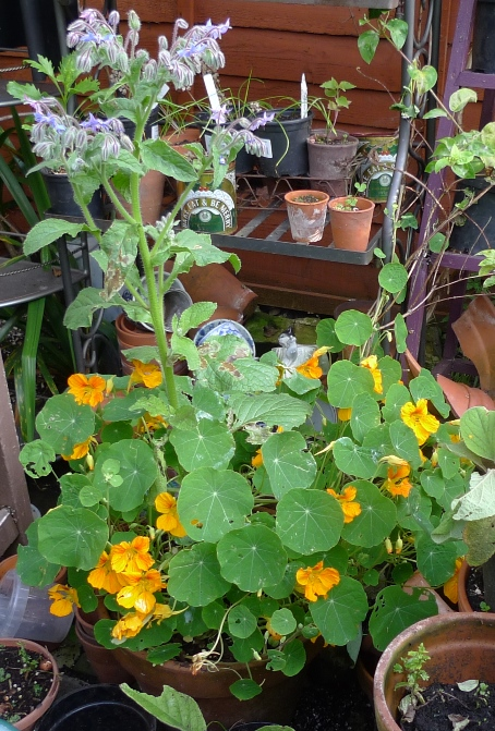 nasturtiums and borage