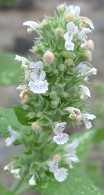 nepeta cataria flower