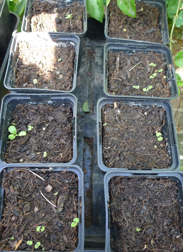 nepeta seedlings