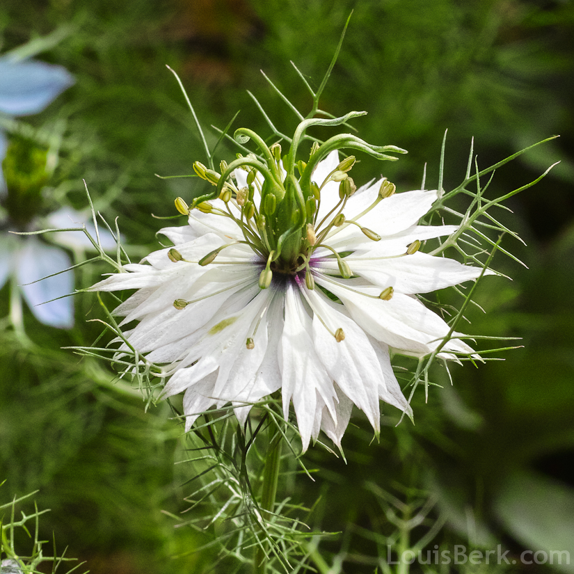 Nigella Flowers Garden Withoutdoors