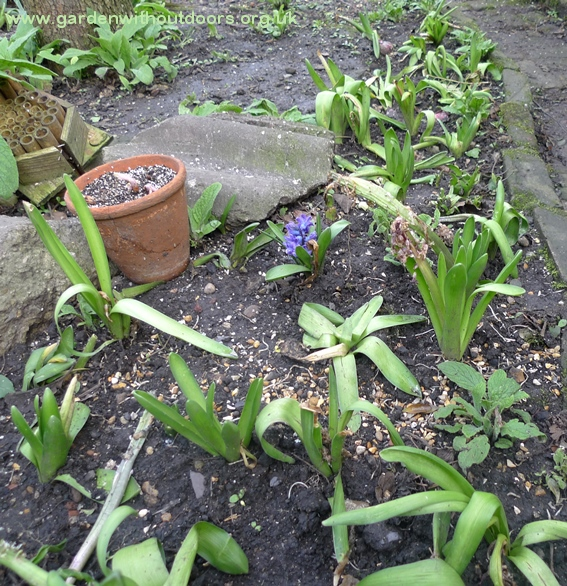 planted spent forced hyacinths outside