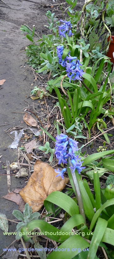 previously forced hyacinths blooming in the garden