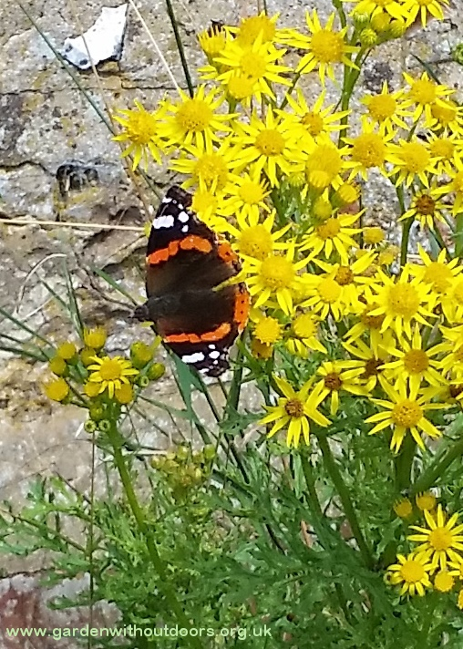 red admiral butterfly on ragwort