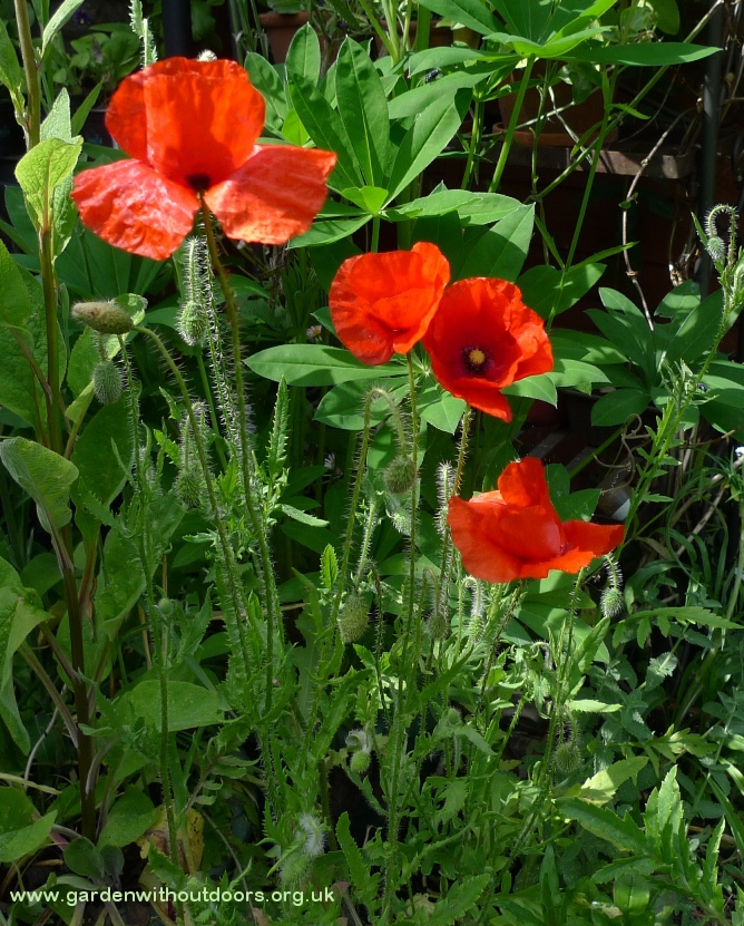 red corn field poppies