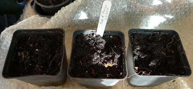 rose of sharon seed sowing