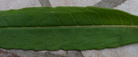 rosebay willowherb leaf