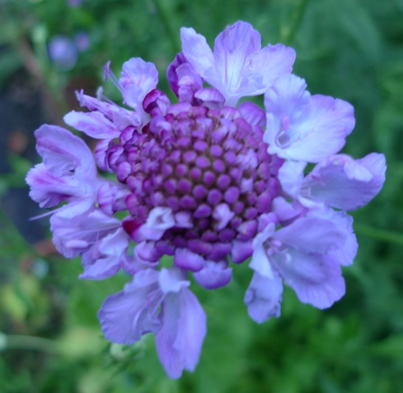 scabiosa oxford blue