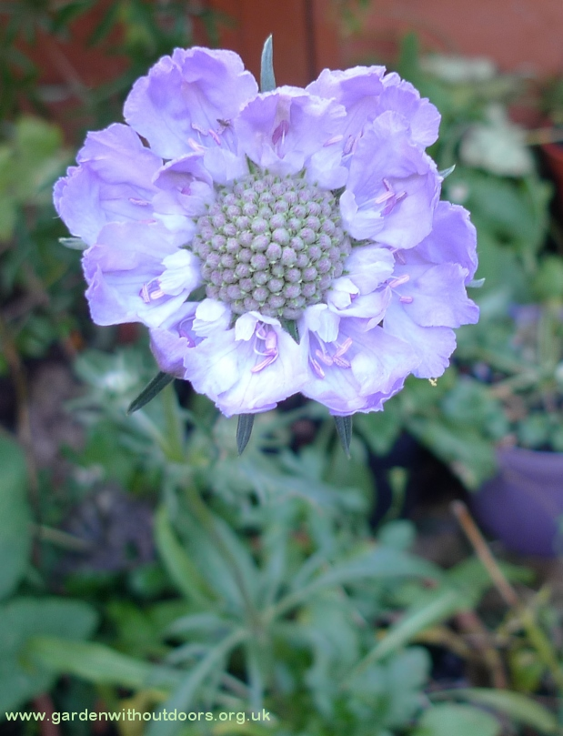 scabiosa Perfection Blue