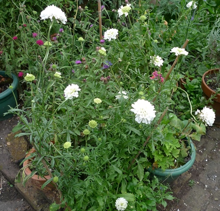 scabious House's Novelty