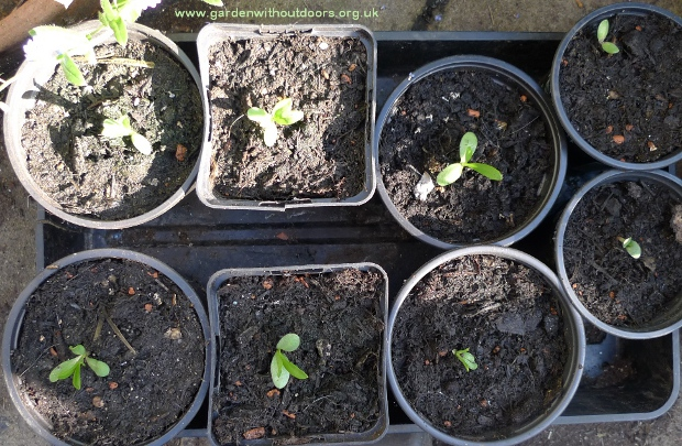 scabious seedlings