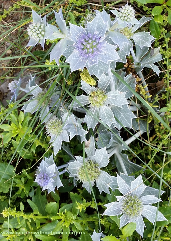 sea holly Hayling Island