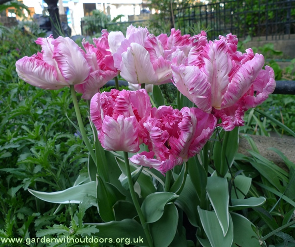 silver parrot tulips
