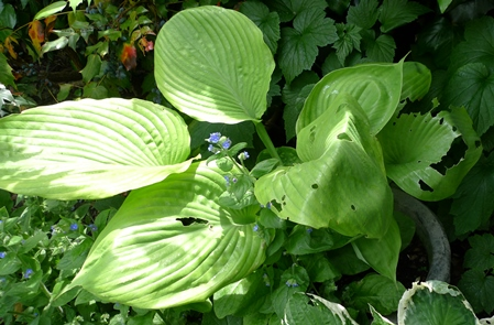 hosta with slug damage