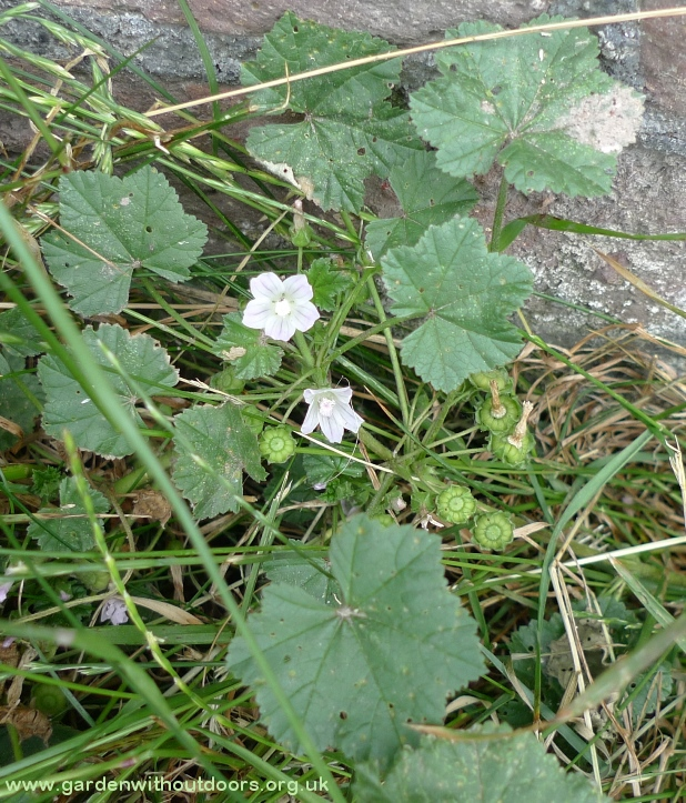 small mallow