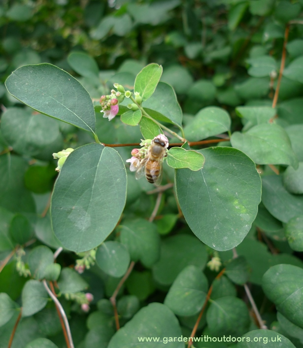 snowberry with bee