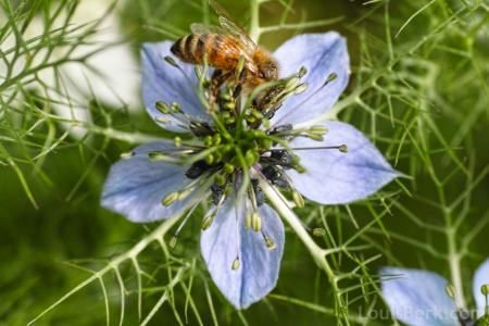 blue nigella flower with bee