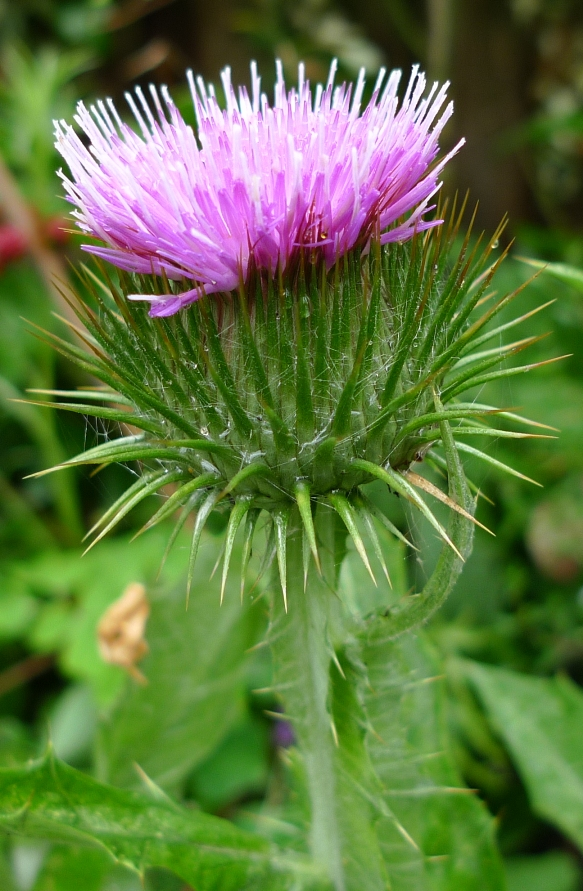 Great Cotton Thistle