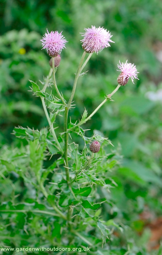 creeping thistle
