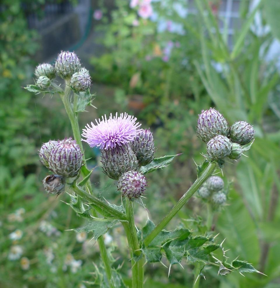 crocosima, more thistles and thistle-like plants   garden ...