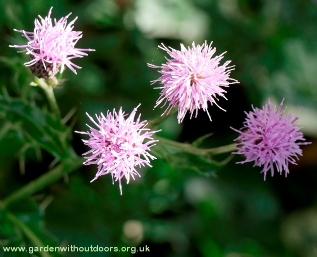 creeping thistle flowers