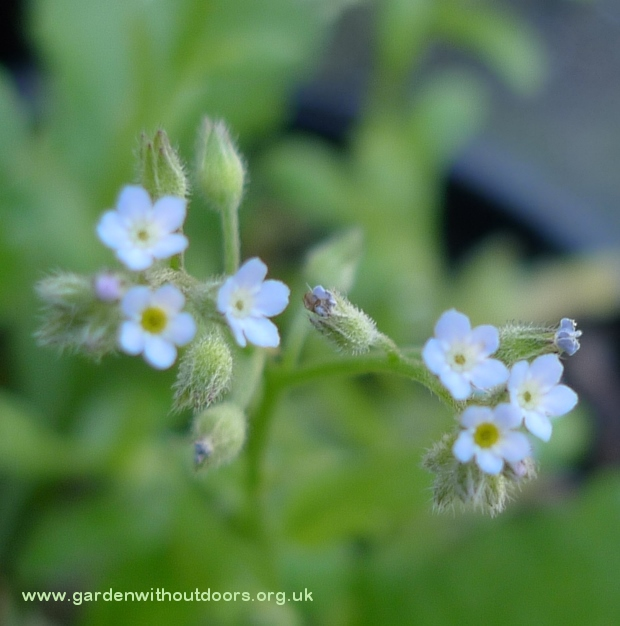 tiny forget-me-not flowers