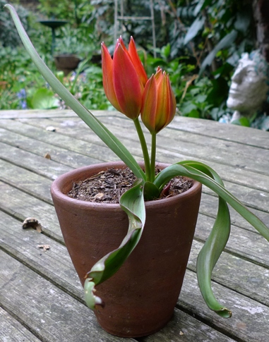 tulip little princess