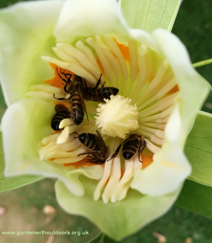 tulip tree flower with bees
