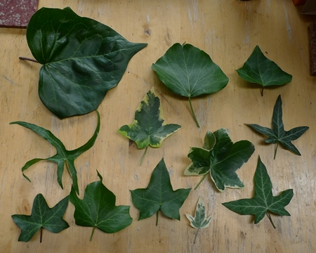 types of ivy
