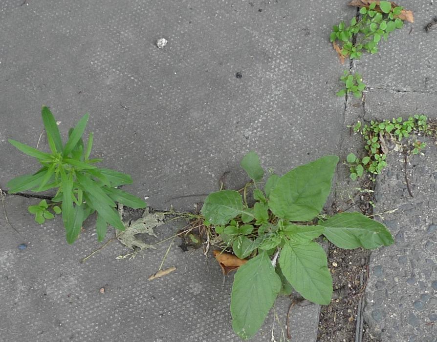 garden weed identification guide garden withoutdoors - 894×701
