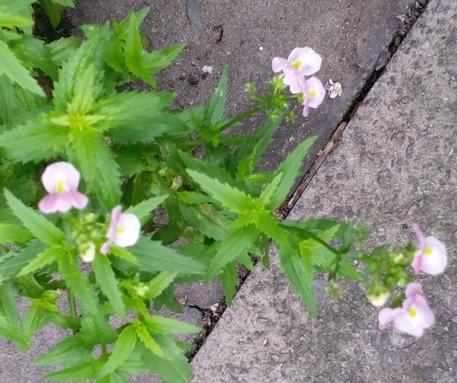 Plantweed with pink flowers my garden thanks mightylinksfo