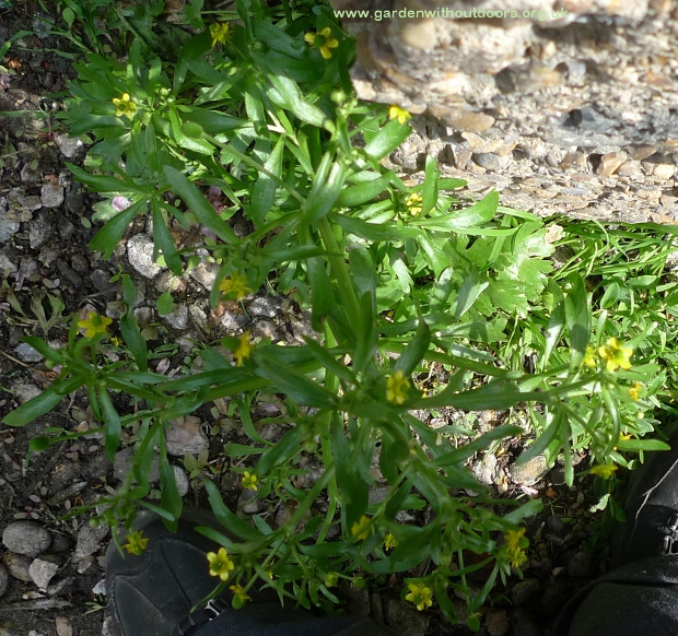 Garden weed identification guide garden withoutdoors celery leaved crowfoot mightylinksfo