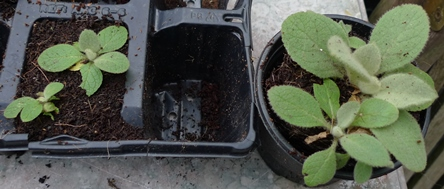 verbascum thapsis seedlings