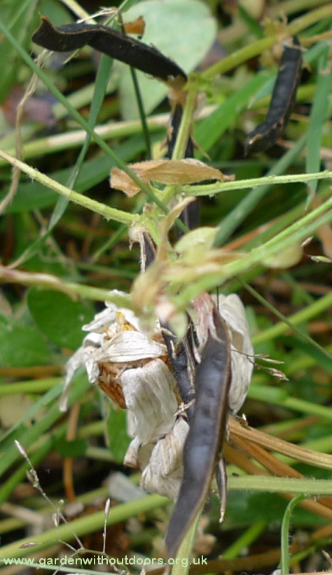 vetch tare seed pods