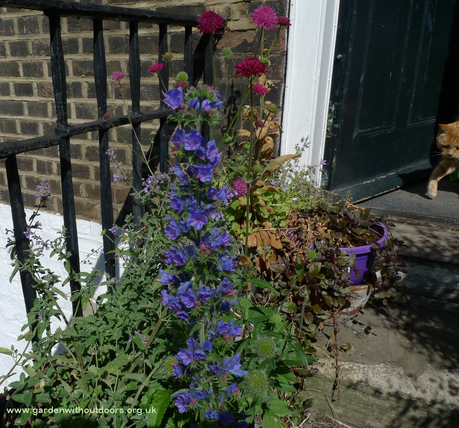 vipers bugloss echium vulgare with bee