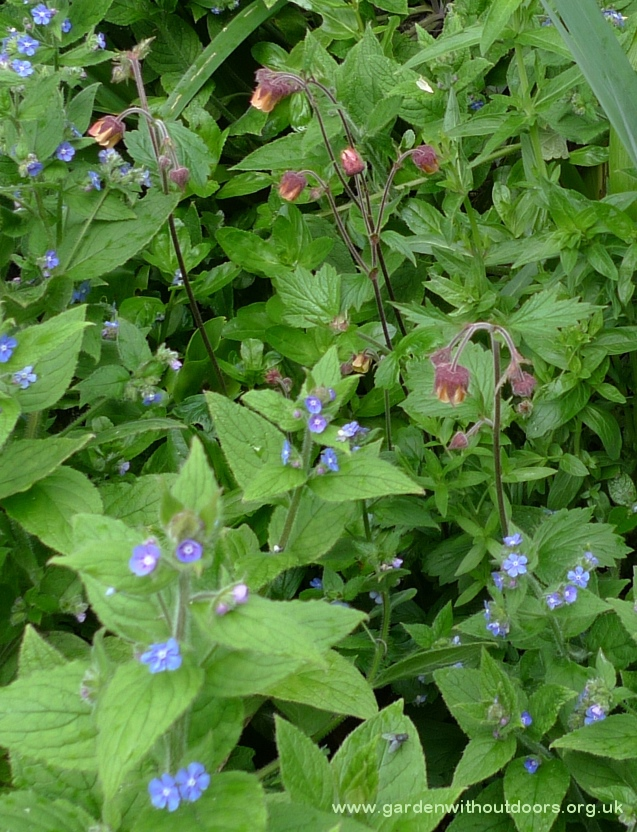 water avens and green alkanet