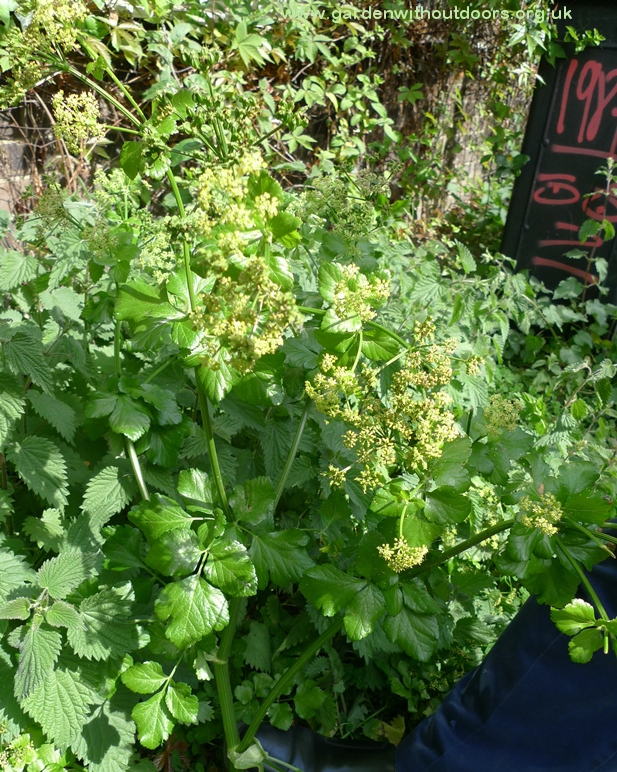 Garden weed identification guide garden withoutdoors wild parsnip but a friend advised it was alexanders unlike many of the umbellifers this has yellow flowers i saw this along regents canal april 2017 mightylinksfo